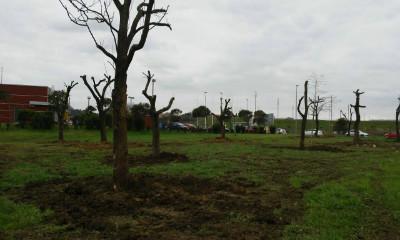 Las catalpas transplantadas han sido reubicadas en un terreno detrás del nuevo McDonal's de la S-20.