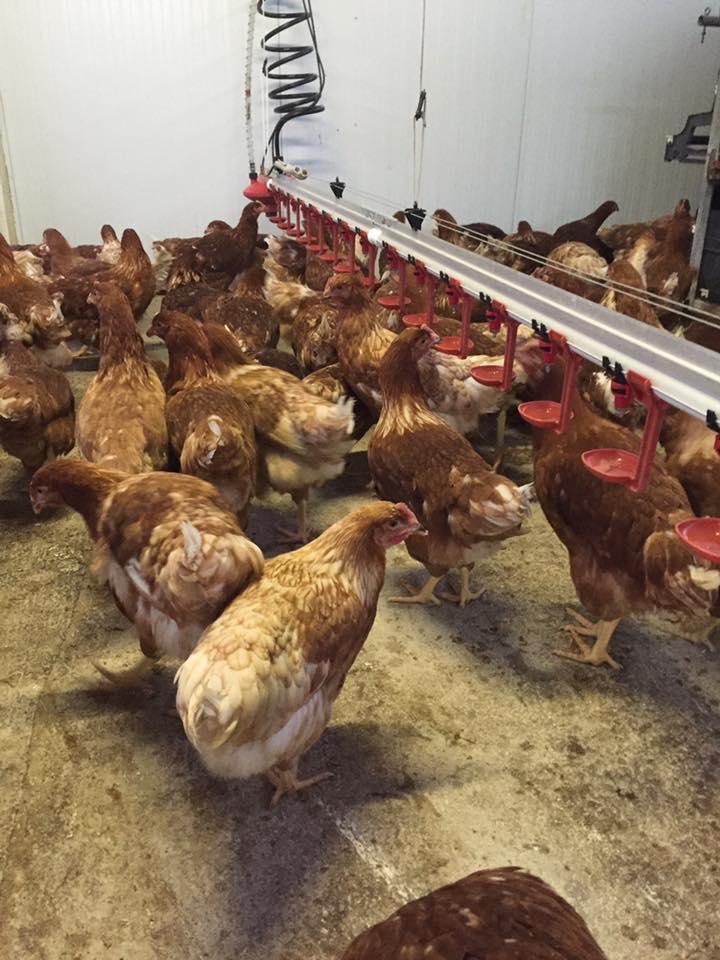 Las gallinas se crían sin productos químicos